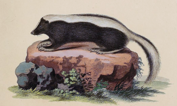 A skunk illustration